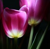 Luminous tulips in night Stock Image
