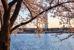 Lumière de matin sur le C.C de Cherry Blossoms Washington Photographie stock