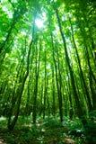 Lumière du soleil par la forêt Image stock