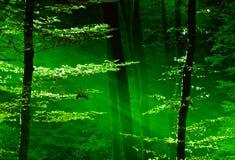 Lumières de la forêt Image libre de droits