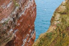 Lummen em Helgoland na mola adiantada em uma rocha Fotos de Stock