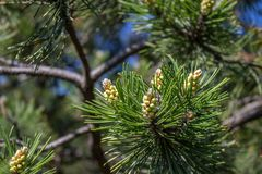 Lump on the branches. Of the Christmas tree royalty free stock images
