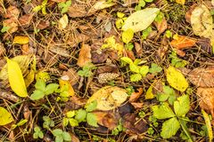 Lump lies on the ground covered with autumn fallen leaves in an autumn forest Royalty Free Stock Images