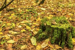 A lump on an old stump in an autumn forest standing on the ground covered with fallen autumn leaves Stock Images
