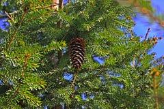 Lump som hänger på julgranfilialerna på bakgrund av blått royaltyfri bild