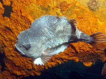 Lumpfish. In Newfoundland, against rust background Royalty Free Stock Photo