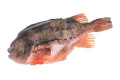 Lumpfish Stock Image