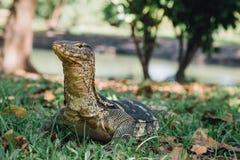 Lumpini公园监控蜥蜴 库存图片