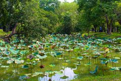 Lumpini Lake at Lumpini Park, Thailand. Lumpini Lake is the center of Lumpini Park in Thailand. The Park is known for its flora and fauna. This picture features Stock Images