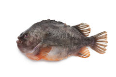 Lumpsucker Fish Stock Image