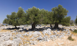 Lun olive trees. Old olive trees near village Lun on Pag island, Croatia Royalty Free Stock Photos
