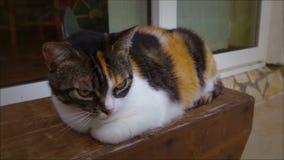 Luna η συνεδρίαση γατών στον ξύλινο πάγκο απόθεμα βίντεο