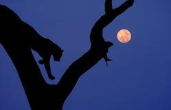 Luna africana del árbol de la silueta del leopardo Imagen de archivo libre de regalías