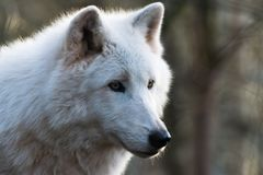 Luna, the arctic wolf. A portrait of Luna, the arctic wolf that I took few days ago stock image