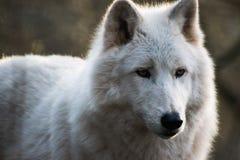 Luna, de noordpoolwolf Royalty-vrije Stock Foto's