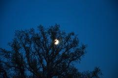 Luna detrás del top del árbol Imagenes de archivo