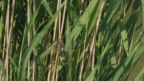 Luna di miele della libellula in primavera video d archivio