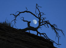 Luna dietro l'albero guasto al crepuscolo Immagine Stock