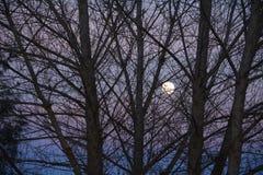 Luna eccellente al crepuscolo prima dei rami di albero di eclissi della luna del sangue in priorità alta Fotografia Stock Libera da Diritti