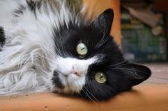 Luna el gato que duerme en la tabla Fotos de archivo