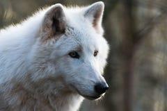 Luna, el lobo ártico Imagen de archivo