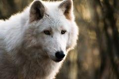 Luna, el lobo ártico Fotos de archivo libres de regalías