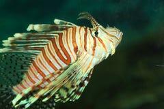 Luna lionfish Fotografering för Bildbyråer