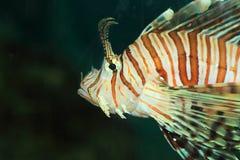 Luna lionfish Στοκ φωτογραφίες με δικαίωμα ελεύθερης χρήσης