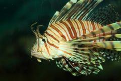Luna lionfish Arkivfoto