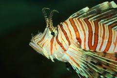 Luna lionfish Royaltyfri Bild