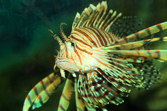 Luna lionfish Stock Image
