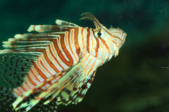 Luna lionfish Stock Images