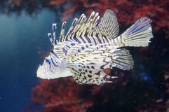 Luna Lionfish Stock Photography