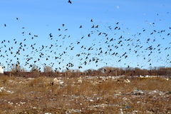 Luna looks at the huge flock of crows and gulls circling over th. E city waste dump. Urban scavengers live and feed on the giant trash Stock Image