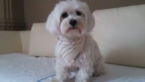 Luna maltese dog waiting for food. Maltese dog waiting for food Stock Photo