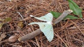 Luna Moth imagens de stock royalty free