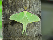 Luna Moth. A Luna Moth perched on a tree royalty free stock photo