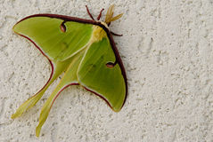 Luna Moth Stock Images