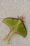 Luna Moth. A large Luna Moth ready to lay eggs stock images