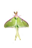 Luna moth. A lime-green, Nearctic Saturniid moth also known as the luna moth with a wing span up to four and a half inches making it one of the largest moths in royalty free stock photos