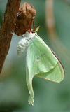 Luna Moth. Just emerged luna moth stock photography