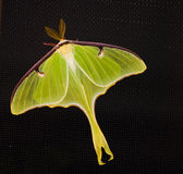 Luna Moth. This is an image of a Luna Moth resting stock photography