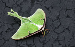 Luna Moth. On pavement royalty free stock image