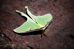 Luna moth. A large green luna moth rests on a stone in the garden stock photo