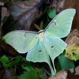 Luna moth. On forest floor royalty free stock photo