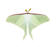 Luna Moth. Isolated on a white background Royalty Free Stock Photography