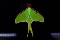Luna Moth Fotografie Stock Libere da Diritti