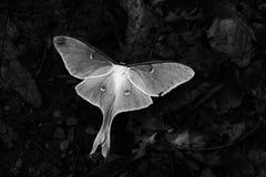 Luna Moth Royalty-vrije Stock Afbeelding