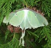 Luna Moth Imagem de Stock Royalty Free