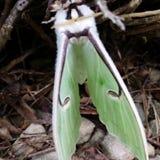 Luna Moth Immagine Stock